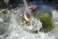 冷凍興凱湖大白魚價格 興凱湖大白魚去哪買