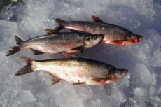 野生白魚價格 野生翹嘴魚多少錢一斤