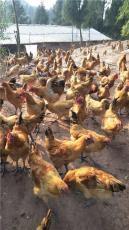 江津李市附近哪里有鸡苗乌皮红冠土鸡苗