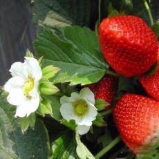 四季草莓苗 隋珠草莓苗哪里有卖的 多少钱一
