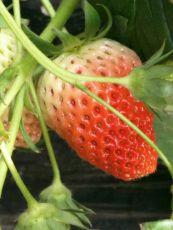 红颜草莓苗品种好不好 多少钱一棵