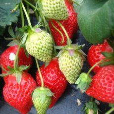 大量出售妙香草莓苗 基地直发 保证品种