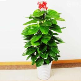 广州萝岗科学城办公室绿植盆栽植物花卉购买