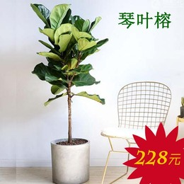 广州海珠区绿植盆栽购买  赤岗办公室绿植
