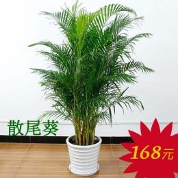 广州白云区哪里卖盆栽绿植 万达办公室植物
