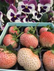 优质的低价四季草莓苗哪里有卖的 多少钱