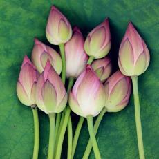 鲜莲花 鲜荷花插花鲜切花 现摘加冰包邮发货