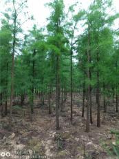 低价供应上海7公分池杉基地精品池杉厂家