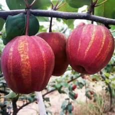 早熟梨新品种早酥红梨哪里有卖的 多少钱