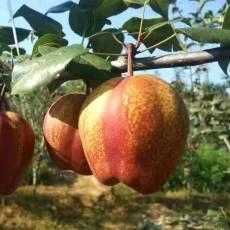 低价供应嫁接梨树苗 早酥红梨苗 多少钱一棵