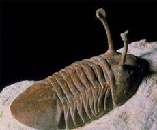 三叶虫化石的鉴定方法是什么