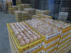 壁山养乌皮红羽土鸡苗如何达到散养降低成本