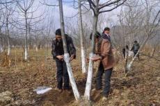 核桃樹 的防寒措施