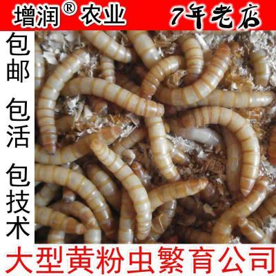 黄粉虫种虫虫卵包邮养殖黄粉虫种苗