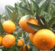 最新柑橘品種湖南四川柑橘苗沃柑苗無核新諾