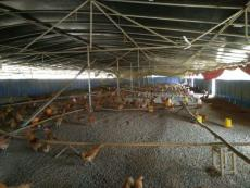 重慶土雞苗 渝北附近雞苗批發市場 黑烏雞