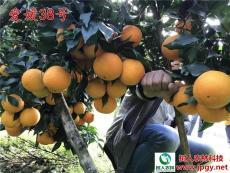 優質柑橘苗木 湖樹人公司柑橘新品種 愛媛38