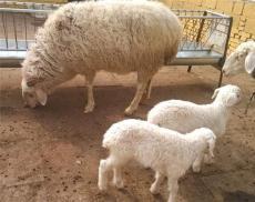 杜泊羊每只多少钱 黑头杜泊羊价格表