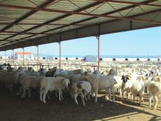黑头杜泊羊价格表 黑头杜泊种羊价格