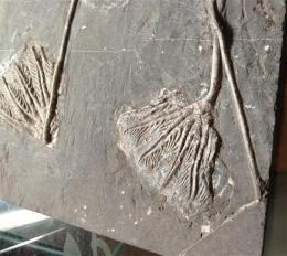 华豫之门的鉴定费是多少 海百合化石