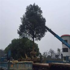 湖北荆门香樟树