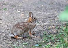貴州野兔最新行情最好的雜交野兔品種