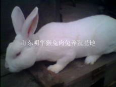 新品種肉兔養殖好賣嗎白色肉兔養殖利潤