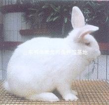 大型種兔養殖廠家現在兔子行情怎么樣