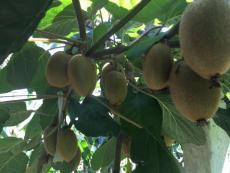 纯粹的纯天然野生原生态猕猴桃
