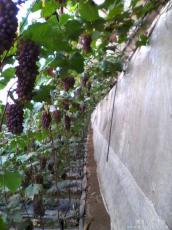 吉林出售金红娃葡萄苗   延吉出售夏黑葡萄