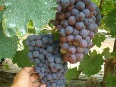 供應東北地區茉莉香葡萄苗  吉林出售葡萄苗