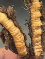 惠州冬虫夏草回收价格哪里高