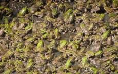 禾牧黑斑蛙科学养殖技术好方式 效益翻番