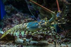 澳大利亚龙虾进口配额申请流程