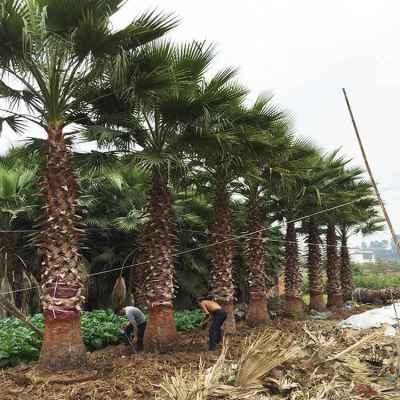 漳州精品老人葵杆高200cm价格实惠性价比高