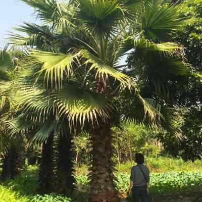 杆高250cm老人葵苗圃出售大面积种植品种好