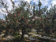 父親的蘋果園