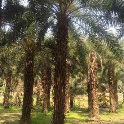 银海枣杆高250cm中东海枣苗木大量批发出售