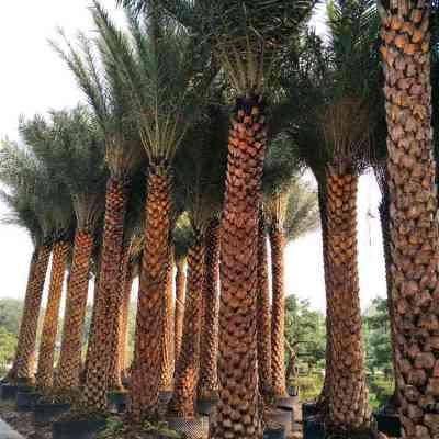 中东海枣杆高300cm银海枣哪里栽种多少钱