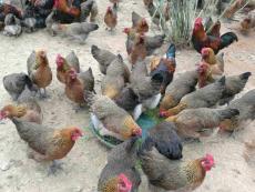 奉节香鸡苗今天报价 香鸡苗今年的市场价格