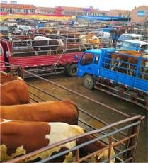 河北周邊西門塔爾小牛犢-紅花400斤肉牛犢