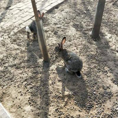 养殖兔子需要多少钱比利时野兔散养技术