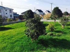 城市綠化草坪種哪些草種