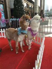 動物租賃動物展覽羊駝矮馬駱駝孔雀等等