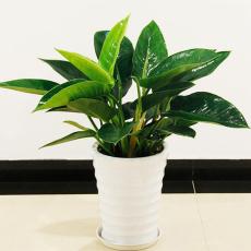 广州公司绿植盆栽 办公室植物花卉 24小时