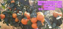 貴陽柑桔苗價格多少錢一棵
