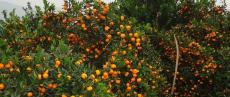 貴州哪家桂橙一號營養杯苗基地比較好