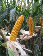 采购大量优质玉米大米