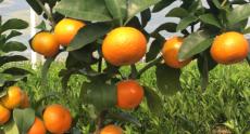 貴州柑桔種苗多少錢一棵