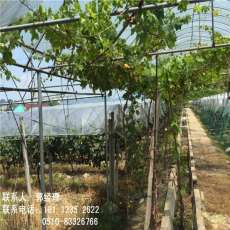新疆塔城連體大棚蔬菜大棚廠家直銷